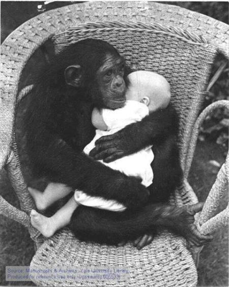 chimp holding baby